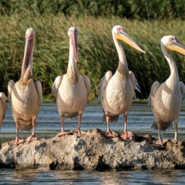 Pelicans in Marsh