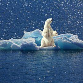 Polar bear on ice.