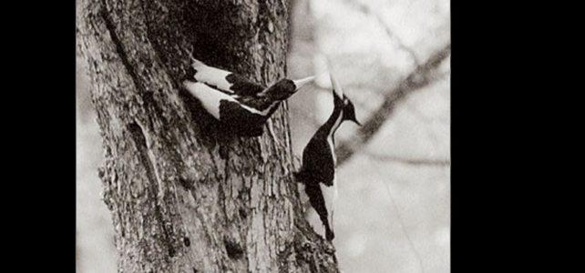 Ivoiry-billed Woodpecker