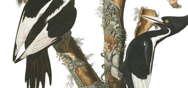 Ivory-Billed Woodbecker